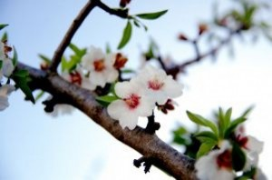 branch-of-flowering-almond-tree